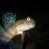 沖縄本島のダイビングで撮影したオイランハゼの水中写真(7cm SL)