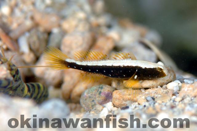 シロオビハゼ幼魚
