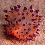 コヤナギウミウシ属の一種