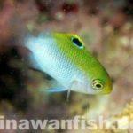 沖縄サンゴ産卵2013