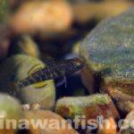 ナガノゴリ幼魚