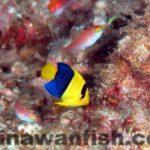 ソメワケヤッコ幼魚