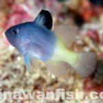 キハッソク幼魚