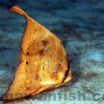 ナンヨウツバメウオ幼魚