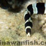 シマウミヘビ