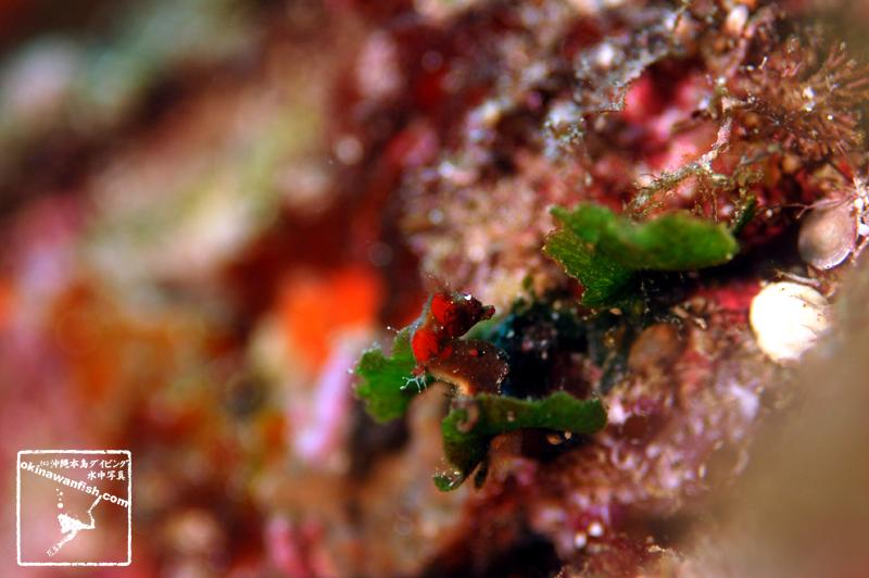 沖縄本島のダイビングで撮影したHippocampus severnsiの水中写真(15mm TL)