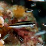 コガシラベラ雌・幼魚