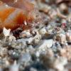 沖縄本島ダイビングで撮影した甲殻類の水中写真