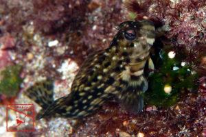 沖縄本島 の タイドプール で撮影した キカイカエルウオ の 水中写真 (5cm SL)