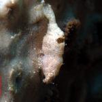 ナガレモエビ属の一種