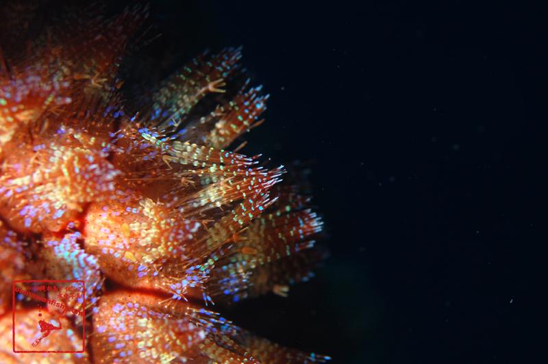 沖縄本島のダイビングで撮影したリュウキュウフクロウニの水中写真
