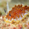 モザイクウミウシ沖縄本島のダイビングで撮影したモザイクウミウシの水中写真