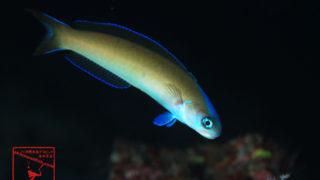 沖縄本島のダイビングで撮影したオキナワサンゴアマダイの水中写真
