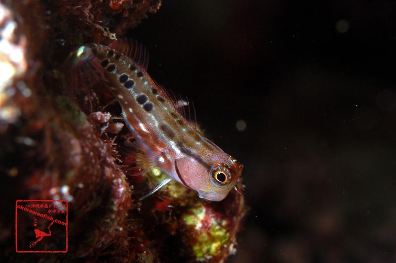 沖縄本島 の ダイビング で撮影した ゴイシギンポ の 水中写真 ( 5cm SL )