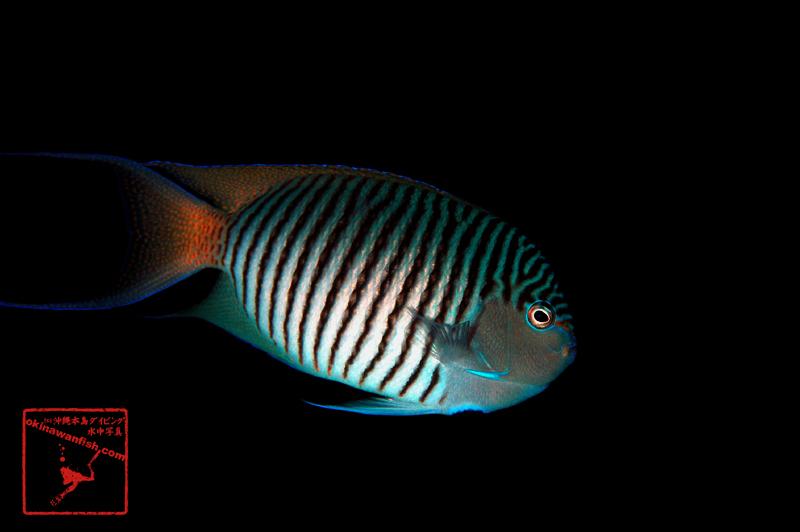沖縄本島のダイビングで撮影したヤイトヤッコ(雄)の水中写真