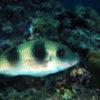 沖縄本島のダイビングで撮影したフタスジヒメジの水中写真