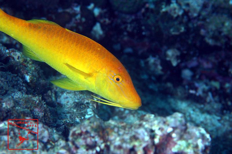 沖縄本島のダイビングで撮影した「マルクチヒメジ」の水中写真 黄色個体