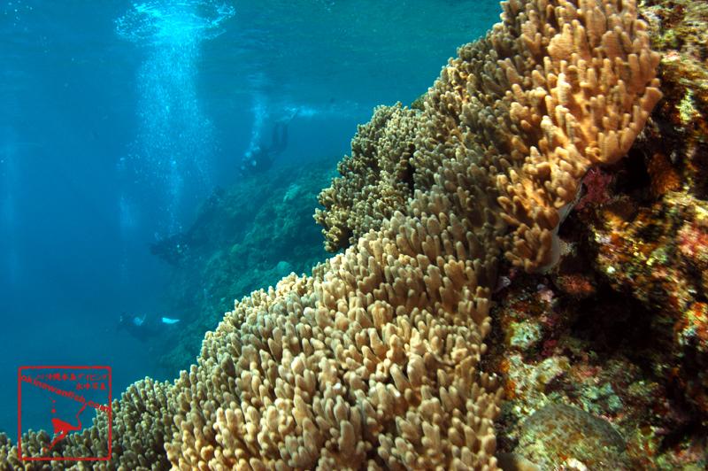 ソフトコーラル 沖縄本島のダイビングで撮影したソフトコーラルの水中写真