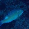 沖縄本島のダイビングで撮影したシロクラベラの水中写真
