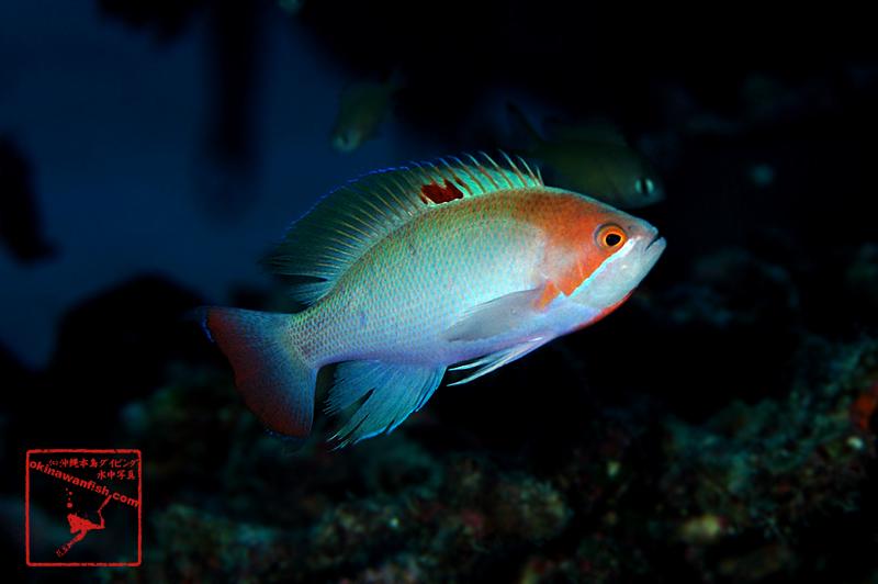 沖縄本島(慶良間)のダイビングで撮影したケラマハナダイの水中写真