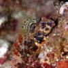 沖縄本島のダイビングで撮影したコウワンテグリ(雄)の水中写真