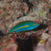 沖縄本島のダイビングで撮影したオグロベラ(雄相)の水中写真