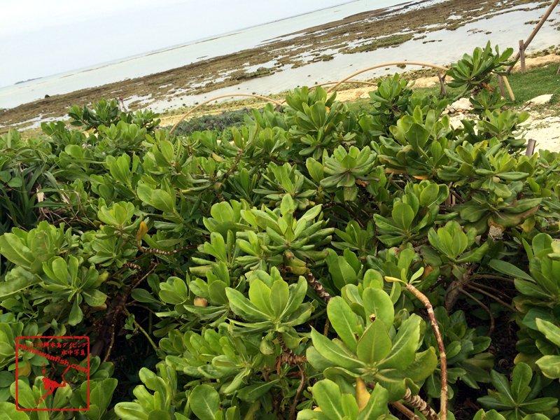 沖縄本島の海岸で撮影したテリハクサトベラの写真