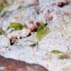 沖縄本島のダイビングで撮影したウミヒルモの水中写真