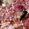 沖縄本島のダイビングで撮影した頭テンテンヘビギンポの水中写真