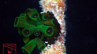 沖縄本島のダイビングで撮影したナンヨウキサンゴの水中写真