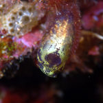 沖縄本島のダイビングで撮影したツツボヤ属の一種の水中写真