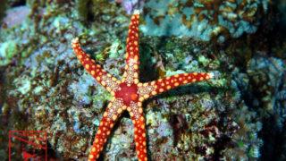沖縄本島のダイビングで撮影したジュズベリヒトデの水中写真