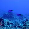 沖縄本島のダイビングで撮影したナンヨウハギの水中写真