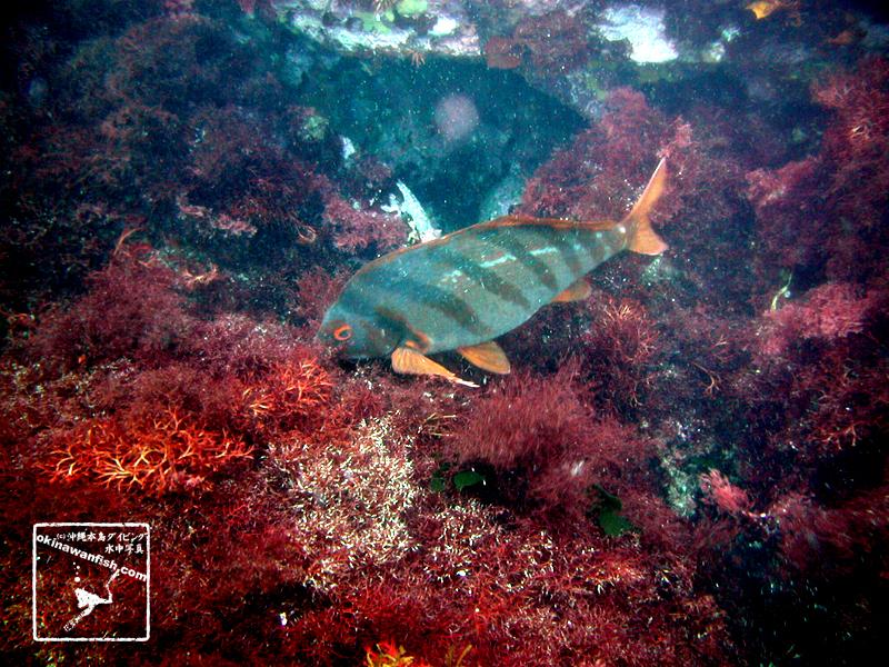 伊豆ダイビングで撮影したタカノハダイの水中写真