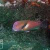 伊豆のダイビングで撮影したイラの水中写真