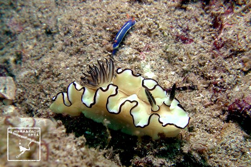 紀伊半島のダイビングで撮影したキイロウミウシとアオウミウシの水中写真