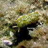紀伊半島のダイビングで撮影したコノハミドリガイの水中写真