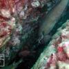 紀伊半島のダイビングで撮影したイタチウオの水中写真