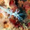 沖縄本島のダイビングで撮影したツノワミノウミウシの水中写真