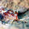 沖縄本島のダイビングで撮影したヒブサミノウミウシの水中写真