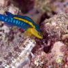 沖縄本島のダイビングで撮影したリュウキュウニセスズメとハナカエルウオの水中写真