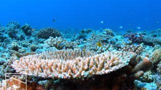 沖縄本島のダイビングで撮影したサンゴの水中写真