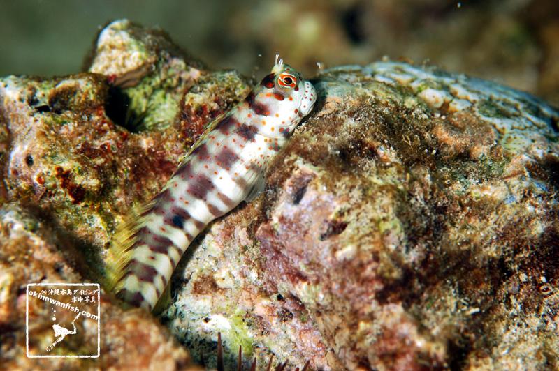沖縄本島 タイドプール で撮影した モンツキカエルウオ の  水中写真 ( 5cm SL )