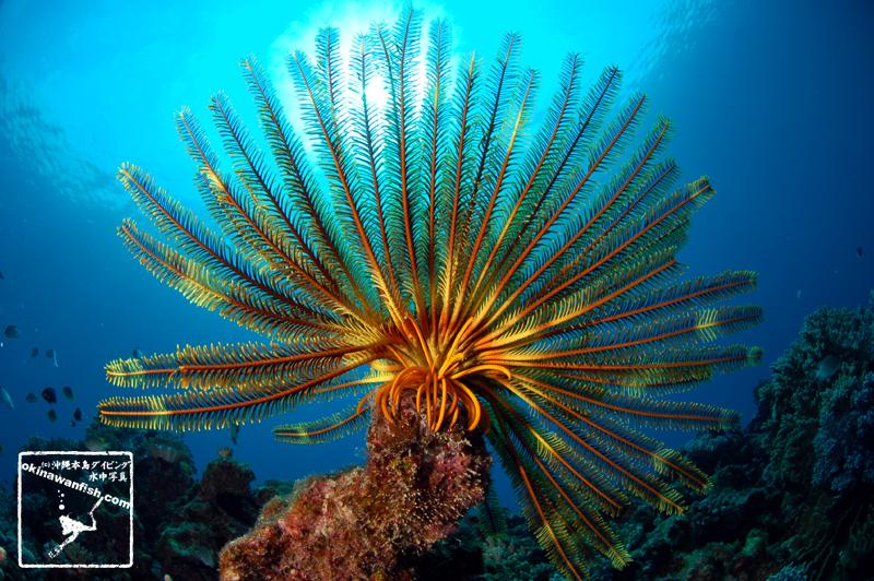 沖縄本島のダイビングで撮影したリュウキュウウミシダの水中写真