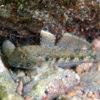 沖縄本島のタイドプールで撮影したクモハゼの水中写真