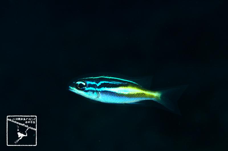 沖縄本島のダイビングで撮影したカメンタマガシラの水中写真