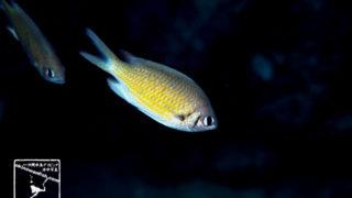 沖縄本島のダイビングで撮影したタカサゴスズメダイの水中写真