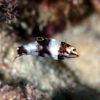 沖縄本島のダイビングで撮影したトカラベラ(yg)の水中写真