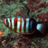 沖縄本島のダイビングで撮影したシチセンベラの水中写真