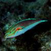 沖縄本島のダイビングで撮影したアカオビベラの水中写真
